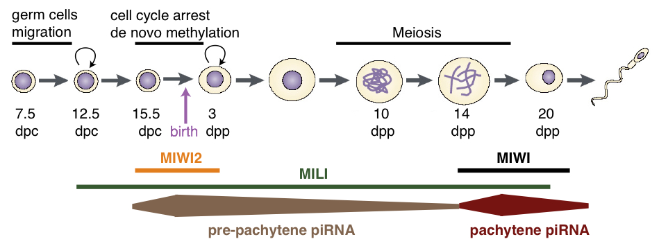 Diagram of piRNAs and Piwi proteins