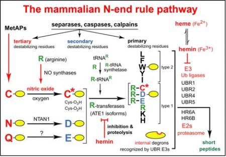 The mammalian N-end rule pathway