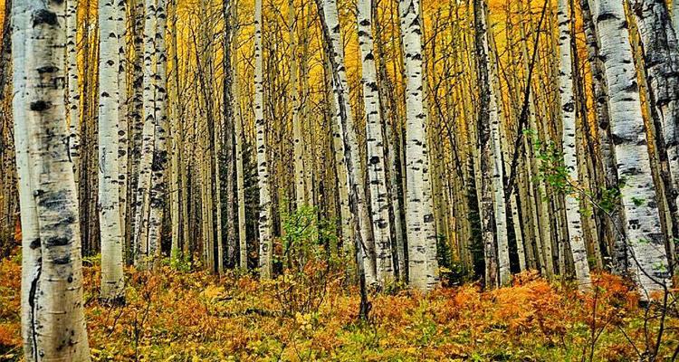 Fall Colors in Colorado Kebler Pass