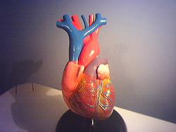 Human-heart-model