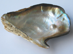 Oyster-shell-pieces