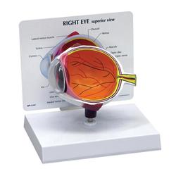 Eye-model