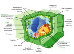 Plant-cell-model
