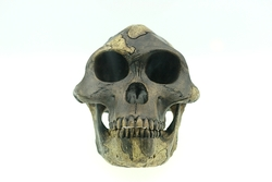 Australopithecus_afarensis_reconstruction
