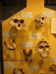 Paranthropus_y_australopithecus