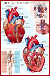 Anatomyhearteu-1