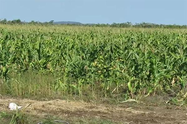 Falta de tecnológicos en la Sedaru detiene producción de maíz