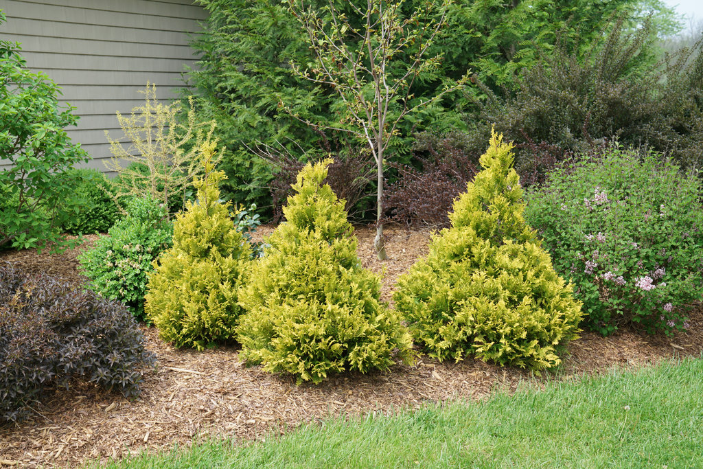 The Best Evergreen Shrubs for Your Front Yard