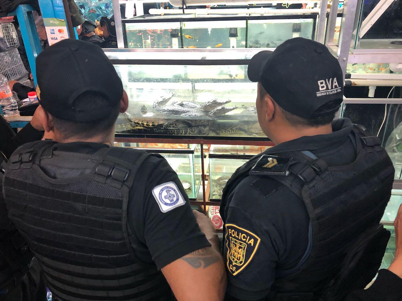 Decomisa la SSP cocodrilos, tortugas, peces… en la colonia Morelos