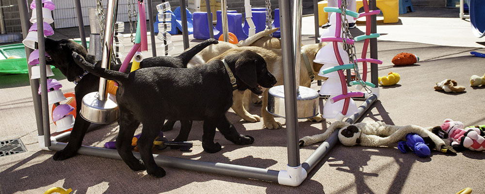 """Puppies playing in an """"adventure box"""" - full of noisy, colorful hanging objects."""
