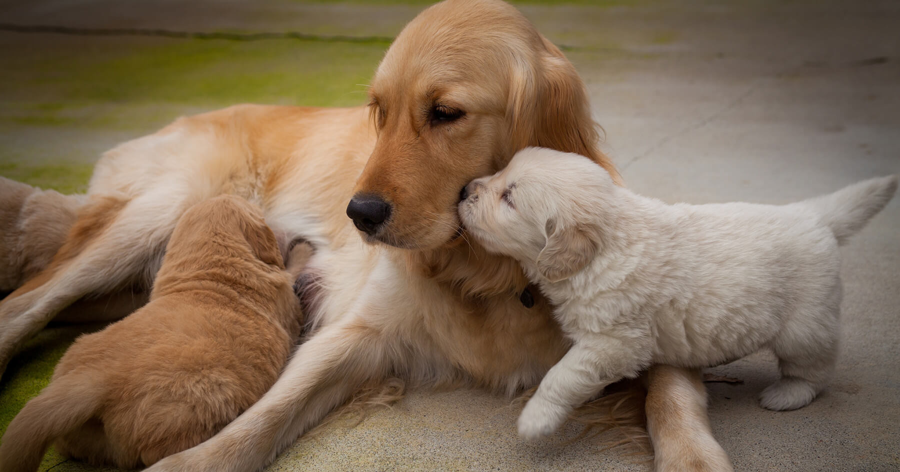 A young Golden Retriever pup nuzzles his mom while another puppy is nursing