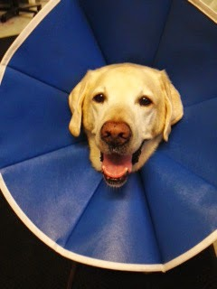 Yellow Lab Bryant smiles while wearing a blue soft cone color around his head.