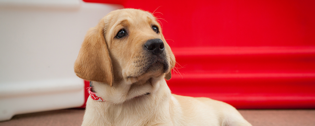 Close-up of an adorable young yellow Lab puppy looking up
