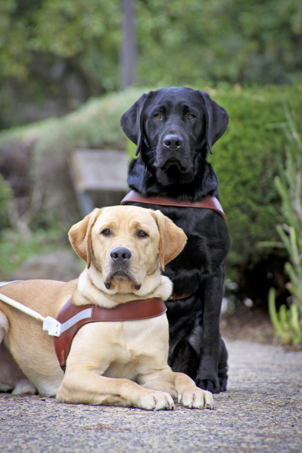 A yellow Lab guide dog (lying down) and black Lab guide dog (sitting behind) post for the camera.