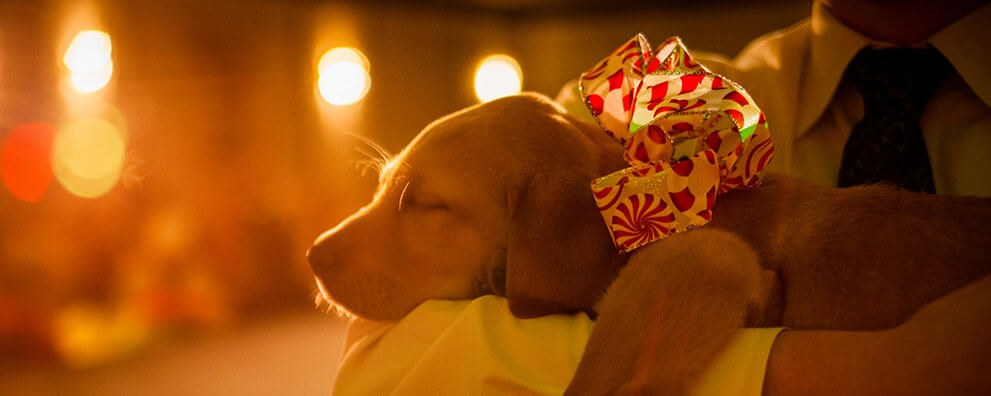 A sleeping yellow Lab guide dog puppy wearing a holiday bow.