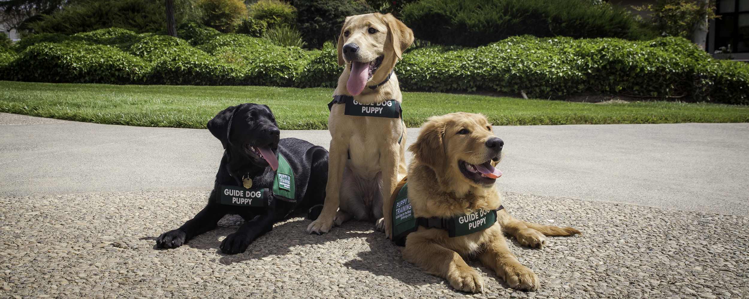 Three guide dog puppies (a black Lab, yellow Lab, and Golden Retriever) wearing their green puppy jackets