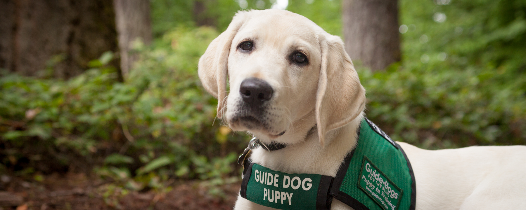 A yellow Lab wearing a GDB puppy coat looking at the camera. The pup is lying on a path with lush green trees in the background.