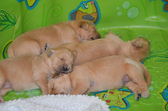 A pile of four sleeping Golden Retriever puppies.