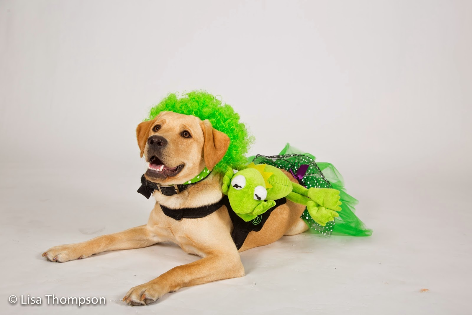 Yellow lab puppy Trivia smiles up at the camera dressed as Kermit the Frog.