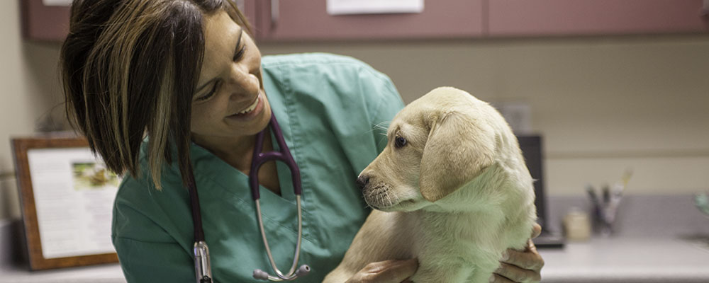 A veterinarian examining a yellow Lab puppy.