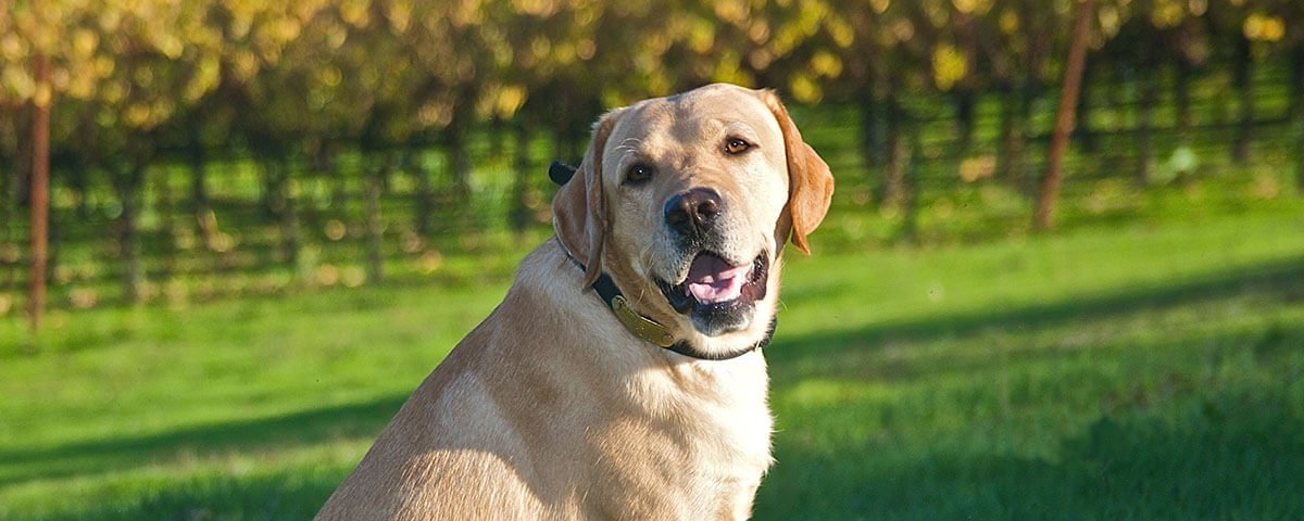 A smiling yellow Lab sitting on a green lawn with foliage in the background.