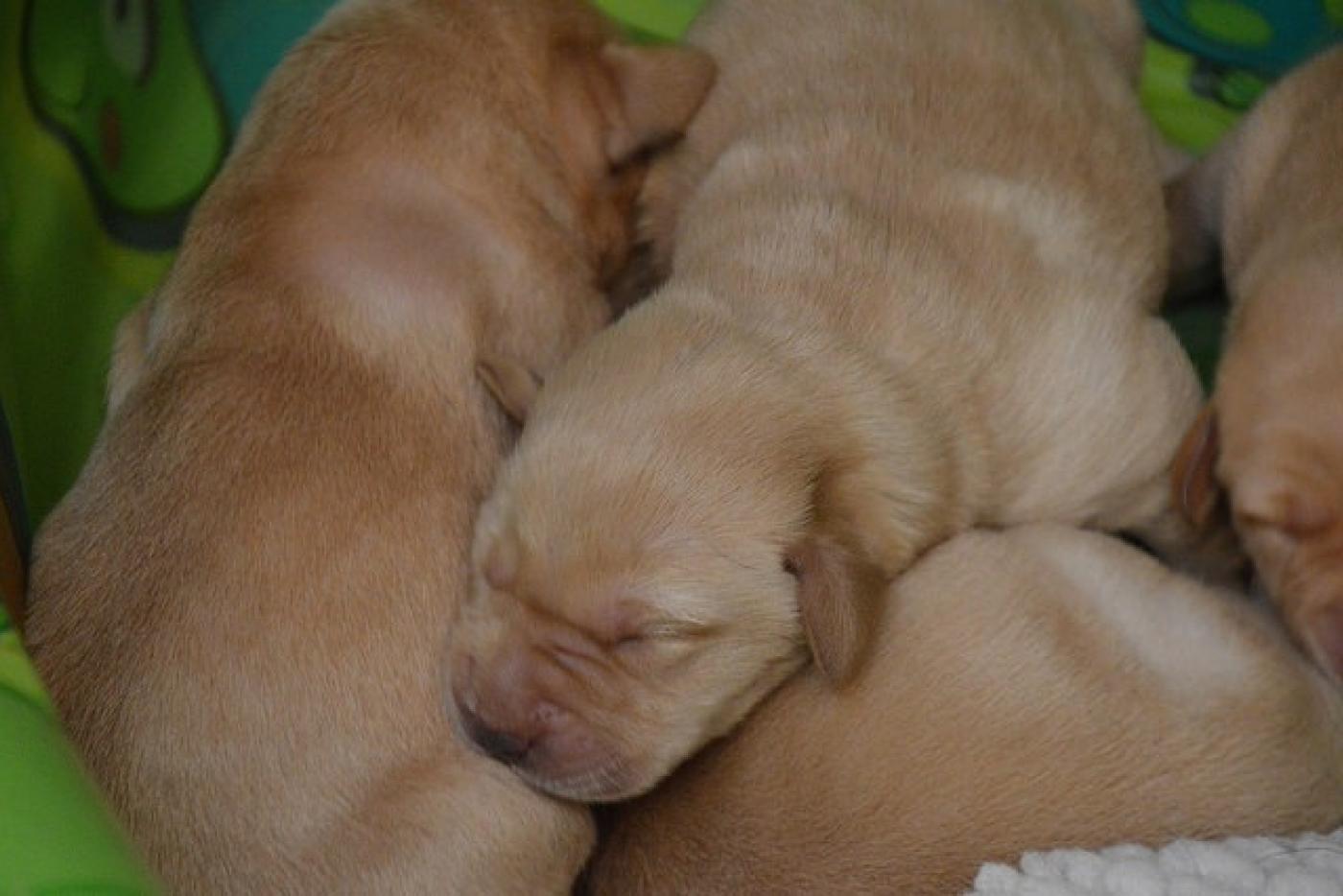 A pile of sleeping baby yellow Labrador Retriever puppies.