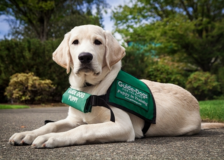 A yellow Lab guide dog puppy