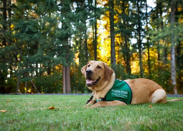 a yellow Lab guide dog puppy sits on a green lawn in front of a backdrop of trees that are dappled with Fall colors.