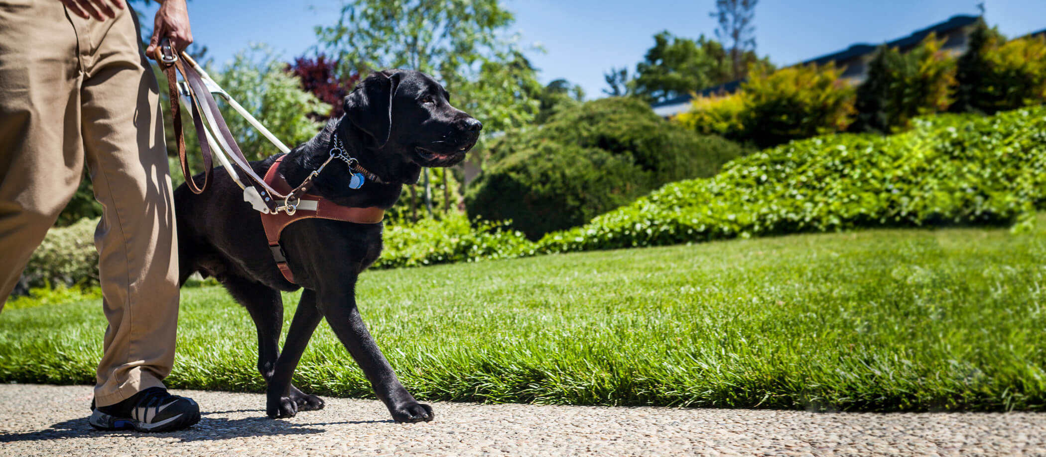 A black Lab guide dog walks on the sidewalk (person's legs are pictured)