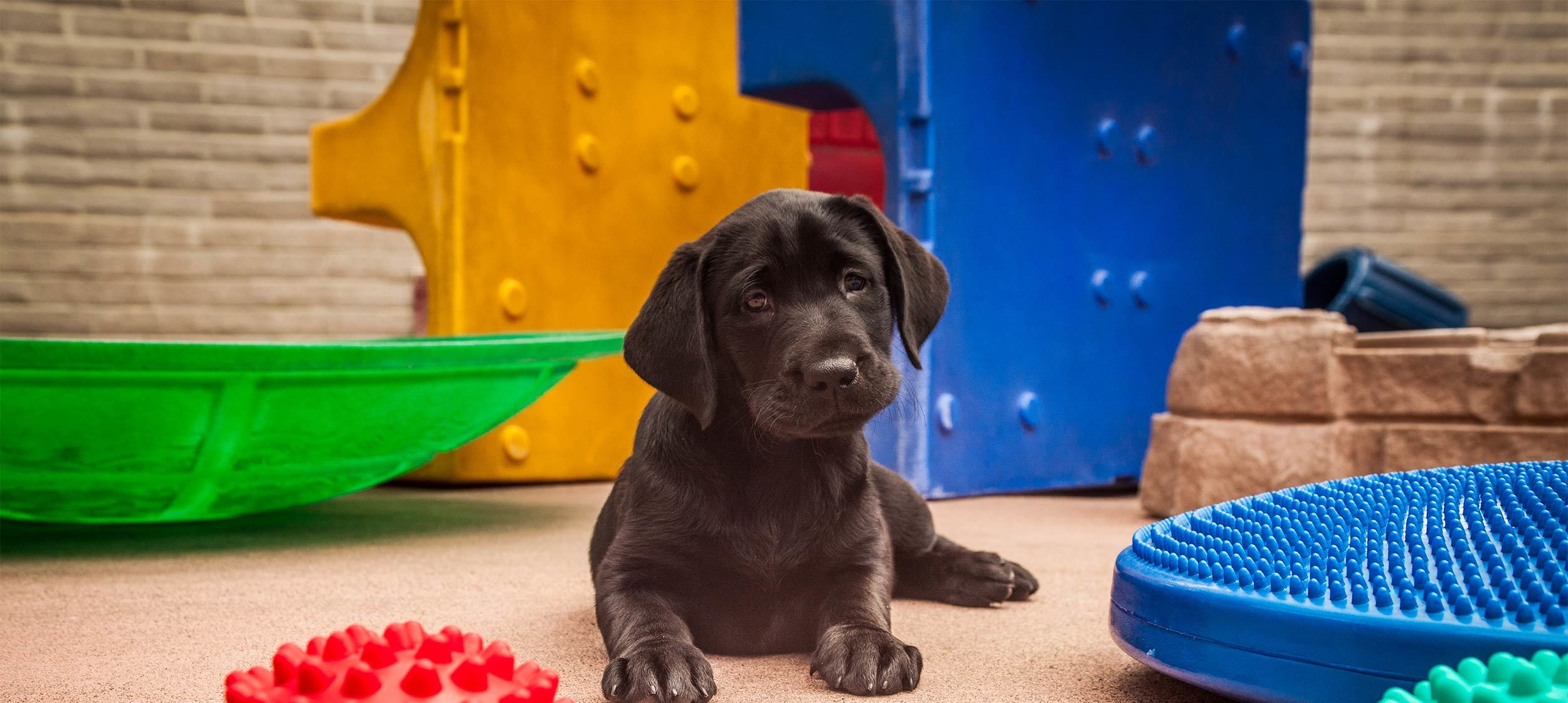 A black Lab guide dog puppy in the socialization yard on the San Rafael campus tilts its head looking directly at the camera (with colorful play structures in the background)