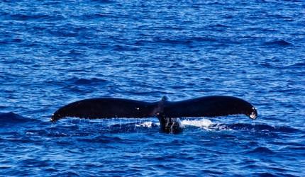 Whale tail | Hawaii Tourism Authority (HTA) / Tor Johnson