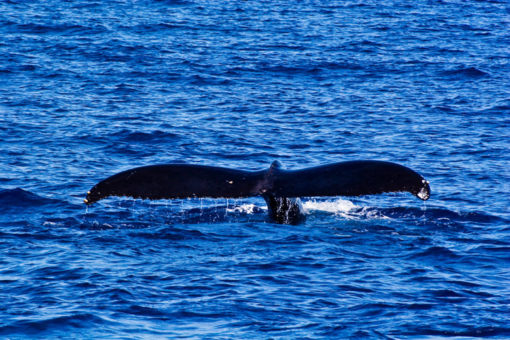 Whale tail | Hawaii Tourism Authority (HTA) / Tor Johnson