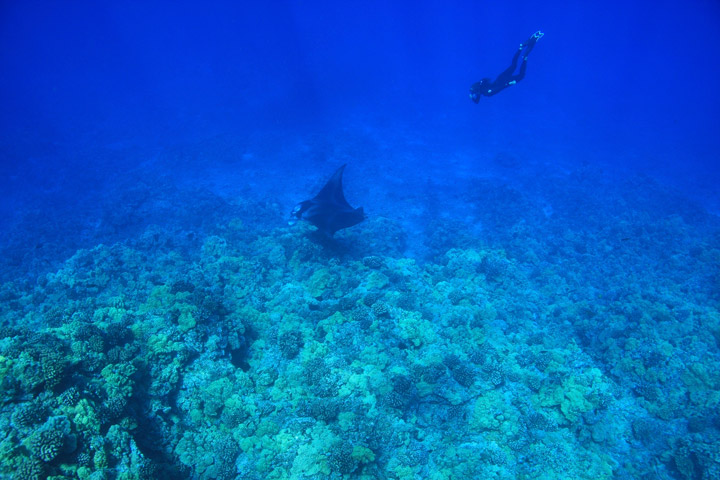 Manta Ray Diving - Kona Coast | Big Island Visitors Bureau (BIVB) / Kirk Lee Aeder