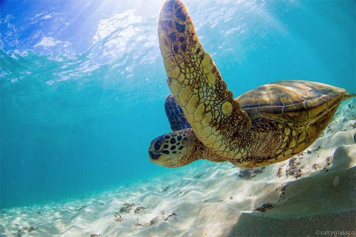 get to know the majestic honu hawaii