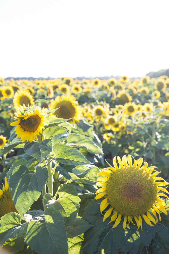 Sunflowers_Davis_2016_Hither-and-Thither-1