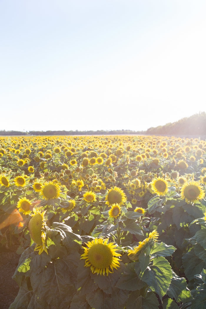 Sunflowers_Davis_2016_Hither-and-Thither-2