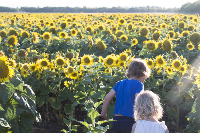 Sunflowers_Davis_2016_Hither-and-Thither-3