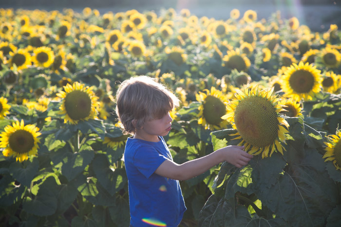 Sunflowers_Davis_2016_Hither-and-Thither-4