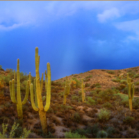 saguaros on black with border
