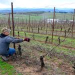 A vineyard manager, pruning at Lenne. These are south-facing slopes, all Pinot.