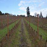 Same vineyard at Lenne Estate, facing North.
