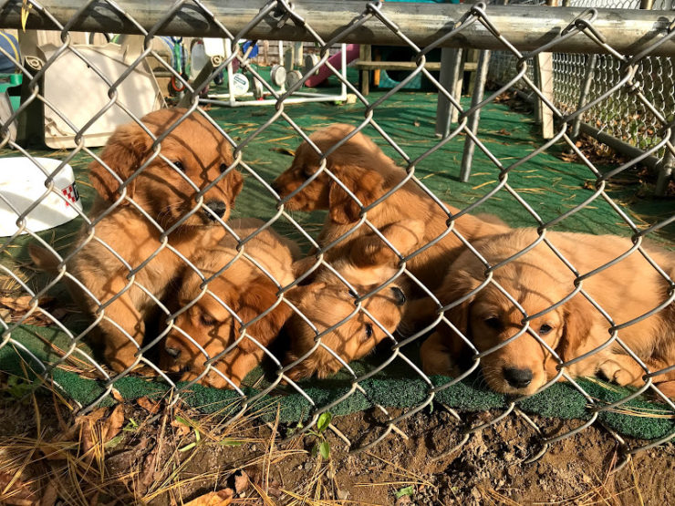 Pile of puppies behind a chain link fence. Too much cuteness!