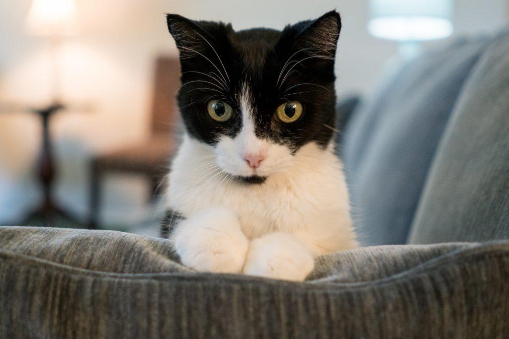 the-catsultant-plano-pets