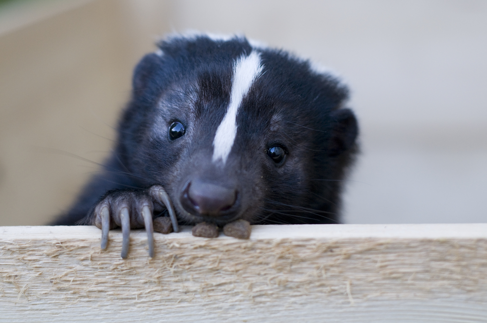 skunk Plano Animal Shelter