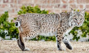 bobcat planoi collin county texas
