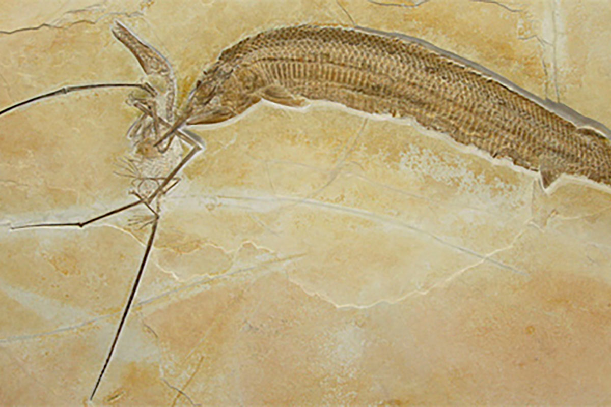 This fossil shows the prey, a Rhamphorynchus, died together with its predator, an Aspidorhynchus