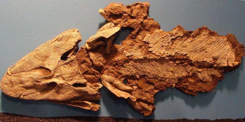 Tiktaalik fossils