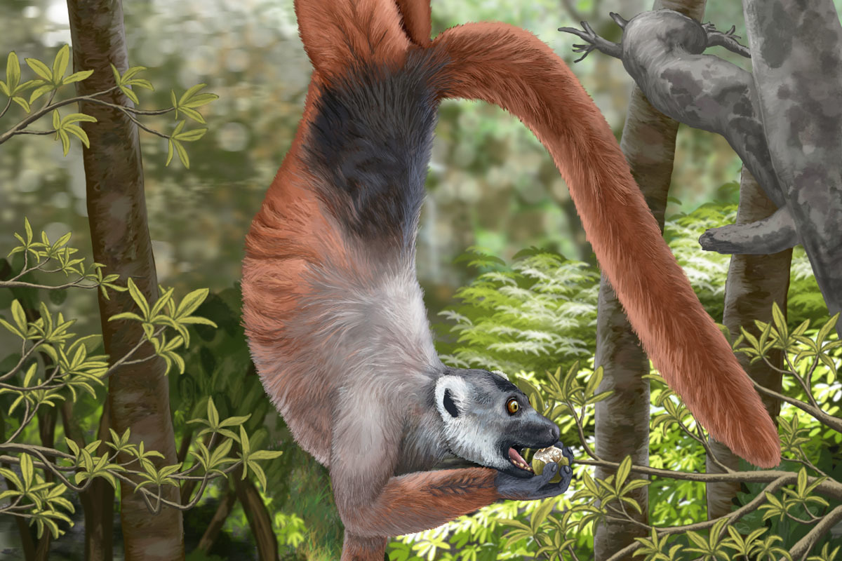 An artist's reconstruction of Pachylemur