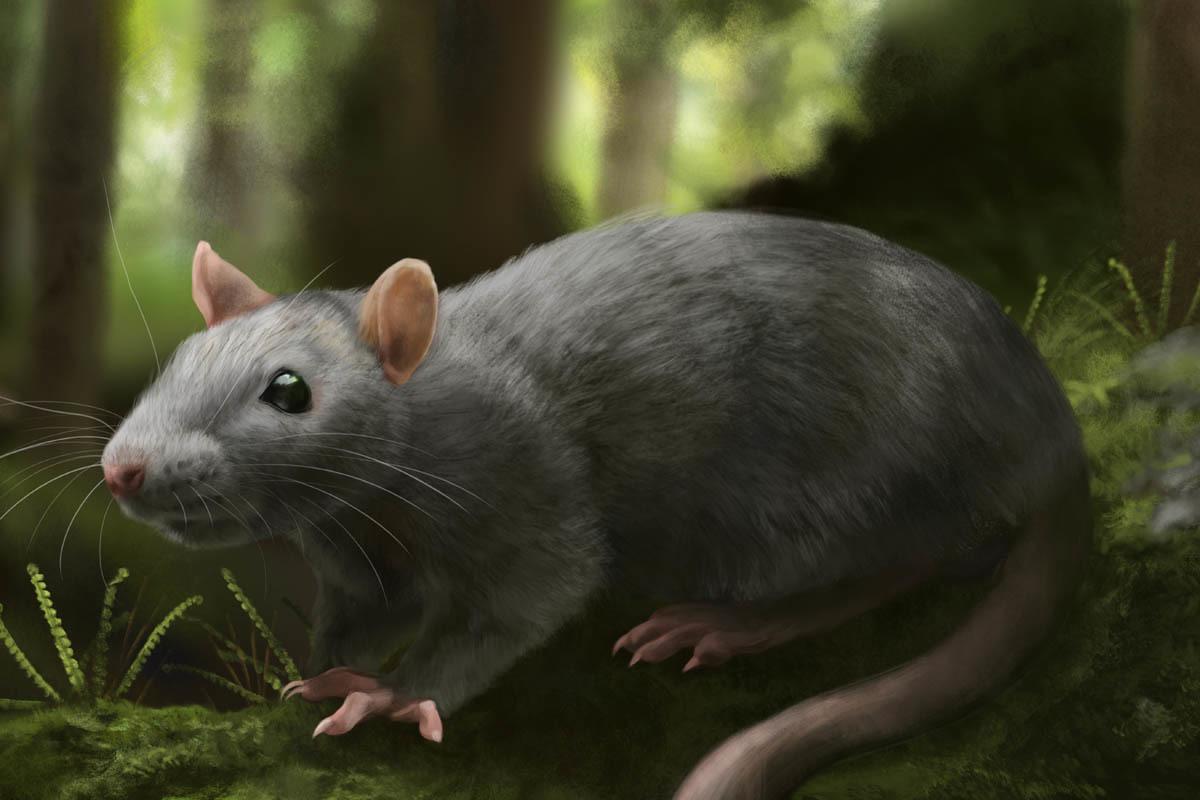 Reconstruction of the extinct rat