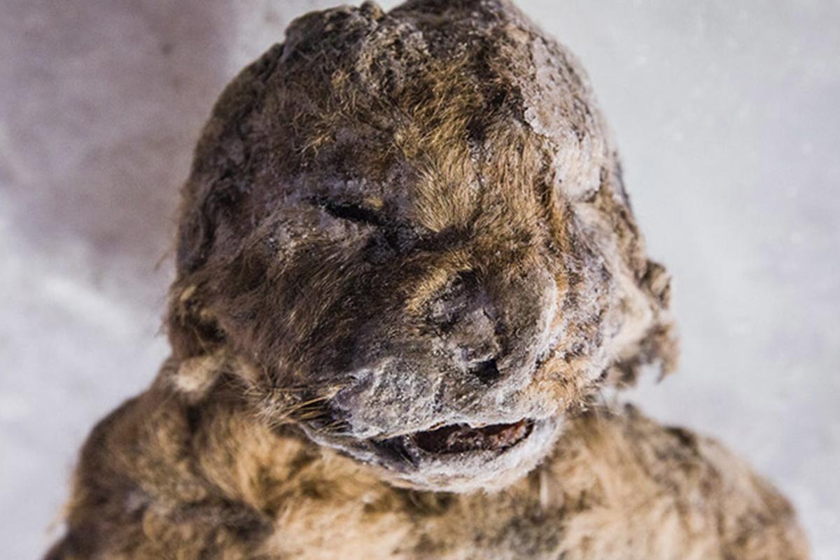 Face of a cave lion cub